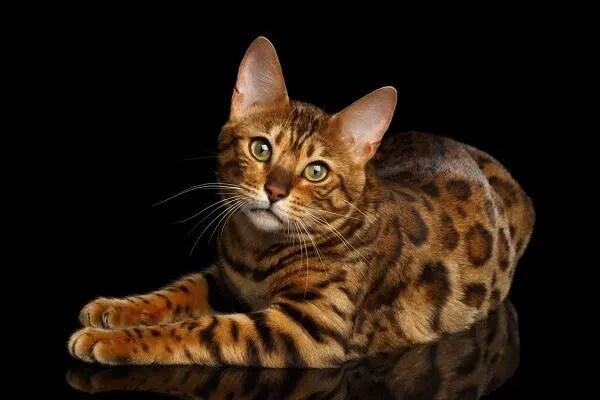 un beau chat