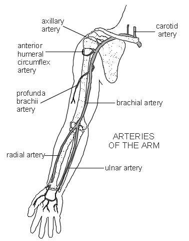 Arteries Of The Arm | Diagram | Patient
