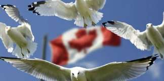 gulls around the Canadian Flag