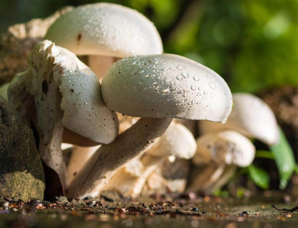 Can a Lethally Poisonous Mushroom Hold the Key to Beating Pancreatic Cancer?
