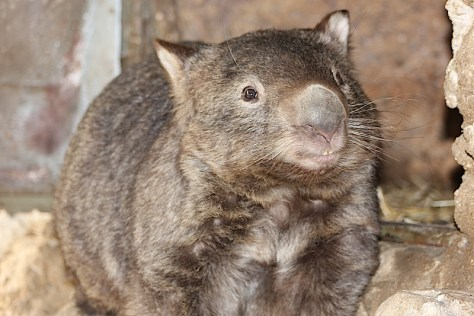 Smiling Wombat at Healesville Sanctuary image by Kerrie Pacholli © pationpics.com
