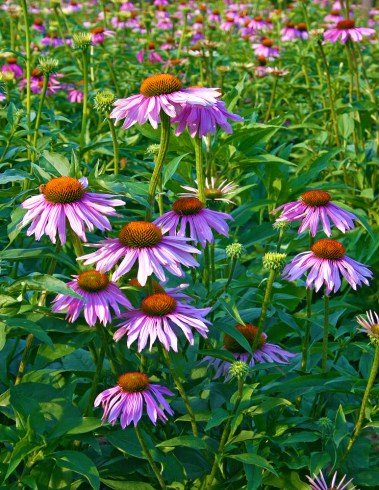 Images of Flowers: Echinacea Field at Sunset