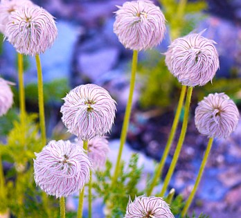Images of Flowers: Pasque Flowers, Mt Shasta