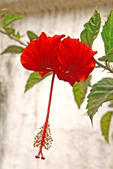 Images of Flowers: Red Hibiscus, Sayulita, Mexico