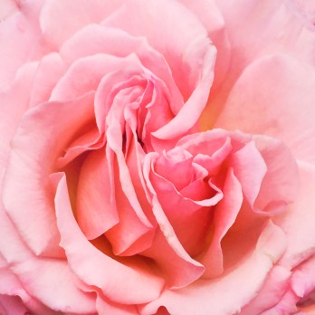 Images of Flowers: Pink rose