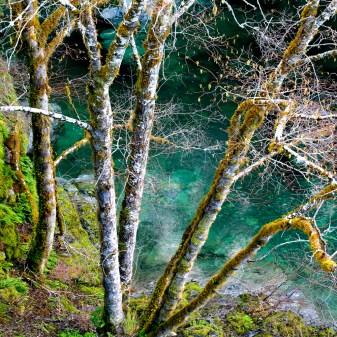 Smith River alder