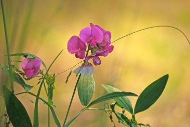 Images of Flowers: Sweet Pea & Grass