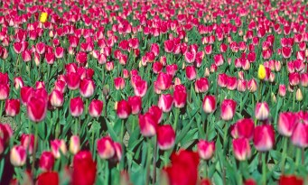 Images of Flowers: Tulips, Skagit River