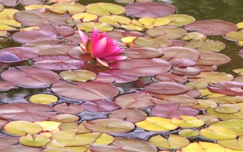 Images of Flowers: Water Lilly, Oregon Coast