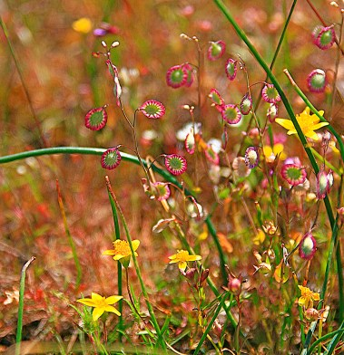 Images of Flowers: Wildflower Abstract, Table Rock OR