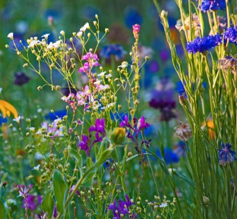 Images of Flowers: Wildflowers at Sunset