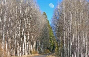 Aspen and Moon at Wood River