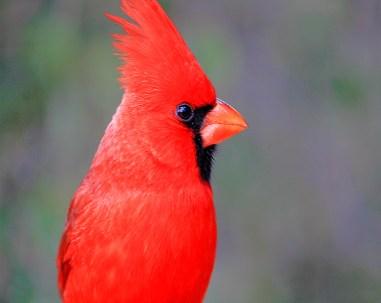 A colorful close-up portrait of red cardinal bird in Saguaro National Park, Arizona.