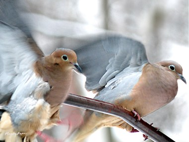 doves dueling