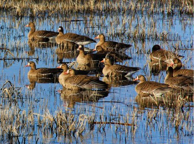 klamath speck geese in grass