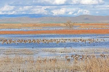 klamath speckled geese24x60 crop2436