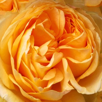Images of Flowers: Yellow Rose