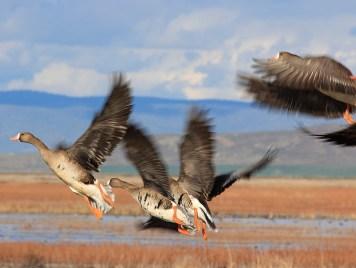 spekle geese take off