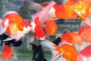 vietnam hanoi fish 2