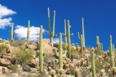 az sajuaro sky cholla cactus LS