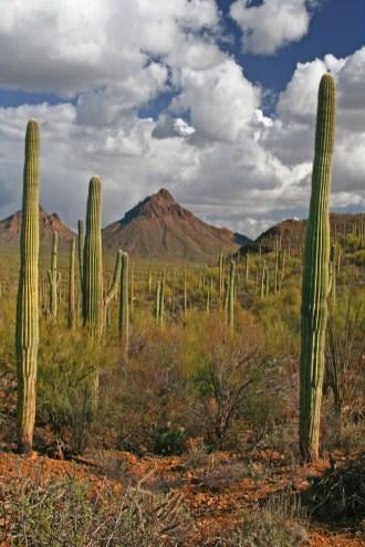 saguaro sunset cactus clouds copy