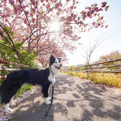 本日も八重桜満開!久々に暖かい日になりましたね。