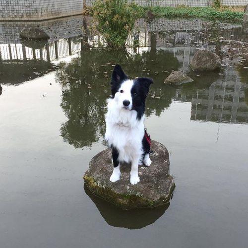 お池にはまってさあ大変!#ノリノリ犬 #dogontop #onthetop