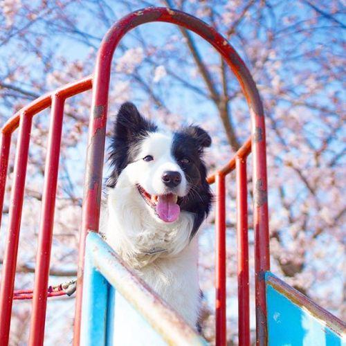 昨年と同じ滑り台の上で。#ノリノリ犬 #dogontop #onthetop
