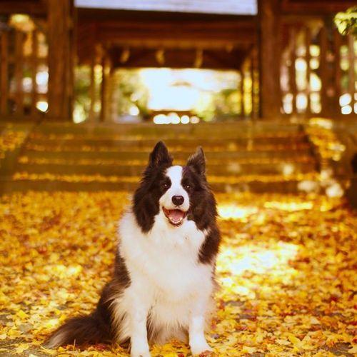 今日はパトンの誕生日。そろそろ、この神社の銀杏の葉が綺麗に敷き詰められるかな。パトン、みんなのと楽しくやってるか?