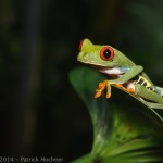 Grenouille aux yeux rouges, Costa Rica