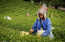 Tea picker, Northern Thailand