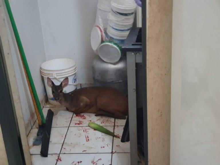 Veado em gestação é resgatado em Ituiutaba