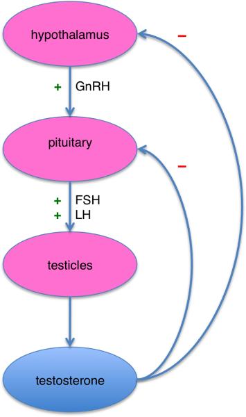 Die HPT-Achse: Über den Hypothalamus zur Hirnanhangsdrüse bis zu den Testikeln. So wird Testosteron gemacht!