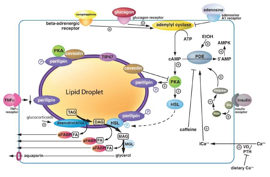 Regulation der Lipolyse in Adipozyten. (Bildquelle: Duncan et al., 2007)