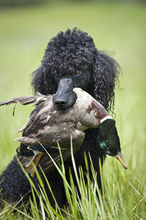 Standard Poodles Hunting The Cooper Project