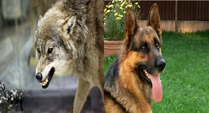 Wolf , Dog, loyalty, friendship, friends, trust,secrets, smile, depress