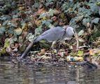 Fishing herons
