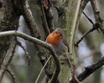 Britain's national bird