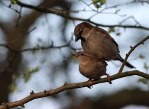 Mating Sparrows