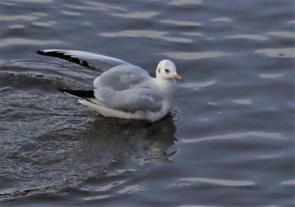 Black Hesded Gull