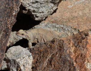 Chuckwalla Too