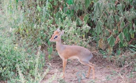 Our lodge's namesake, the infamous DikDik.