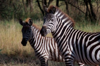 Zebra mamma and baby in the morning light.