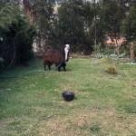Llook it's a Llama!