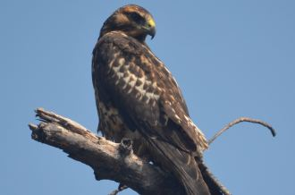 Galapagos Hawk.