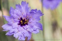 First_Shot-_Purple_Flower,_7.28.15