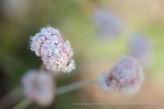 Latifolium_Wild_Buckwheat,_7.20.15