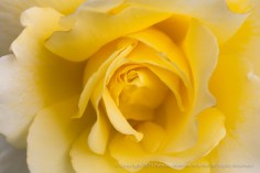 White_Licorice_Rose,_8.4.15