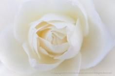 White Rose (II), 11.6.2014