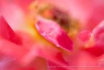 Abstract-_Reno_Rose,_8.24.15